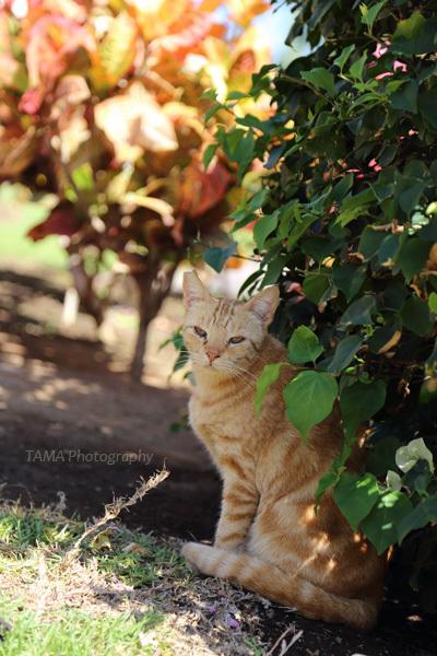 ベイクラブの飼い猫@2015GWハワイ島_c0024729_19283196.jpg