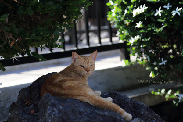 ベイクラブの飼い猫@2015GWハワイ島_c0024729_19283424.jpg