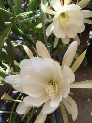 切り花で咲く月下美人⁉︎_e0086864_2247589.jpg
