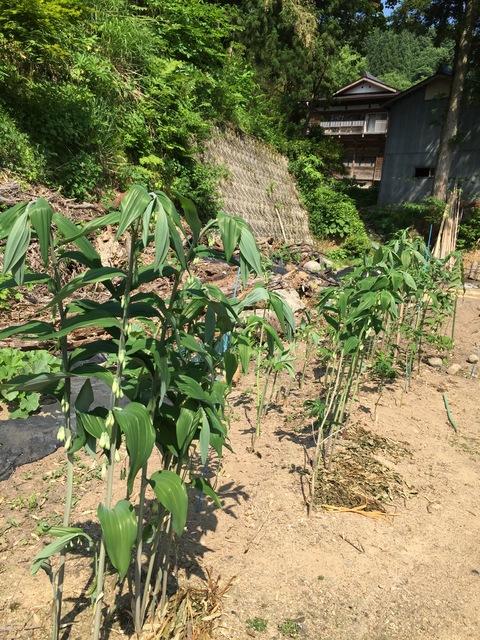 畑に山菜!_d0182179_16275389.jpg