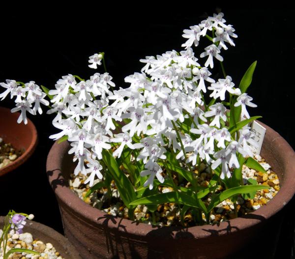 コアニチドリ、エノモトチドリ白紫点花など♪_a0136293_19103754.jpg