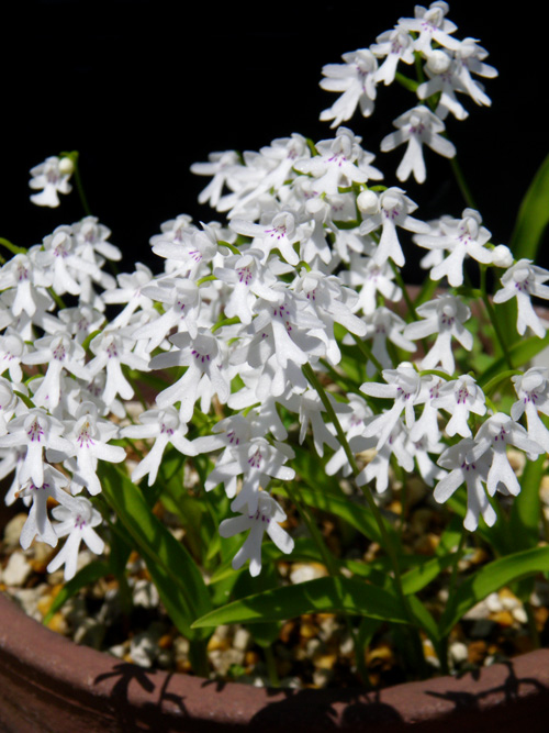 コアニチドリ、エノモトチドリ白紫点花など♪_a0136293_19112914.jpg