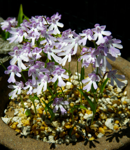 コアニチドリ、エノモトチドリ白紫点花など♪_a0136293_19122028.jpg