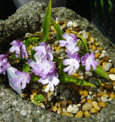 コアニチドリ、エノモトチドリ白紫点花など♪_a0136293_19144687.jpg