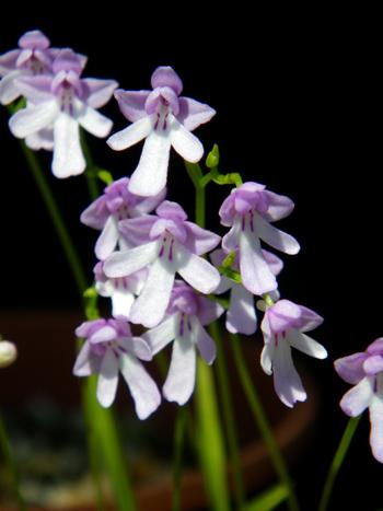 コアニチドリ、エノモトチドリ白紫点花など♪_a0136293_19171698.jpg