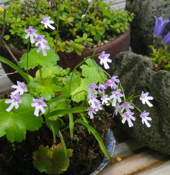 コアニチドリ、エノモトチドリ白紫点花など♪_a0136293_1982972.jpg