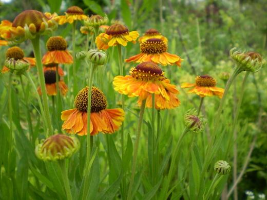 宿根草でお庭をすてきにしましょう!_f0139333_014166.jpg