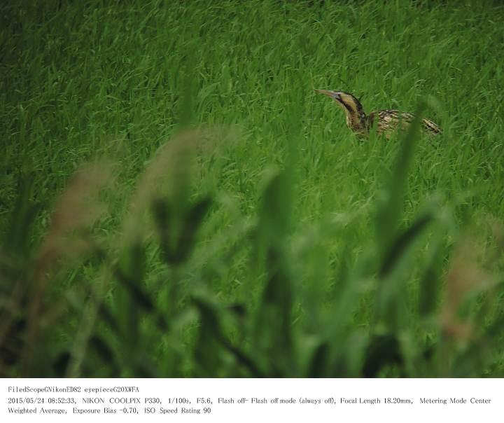 印旛沼北部調整池 2015.5.24(2)_c0062451_2228033.jpg