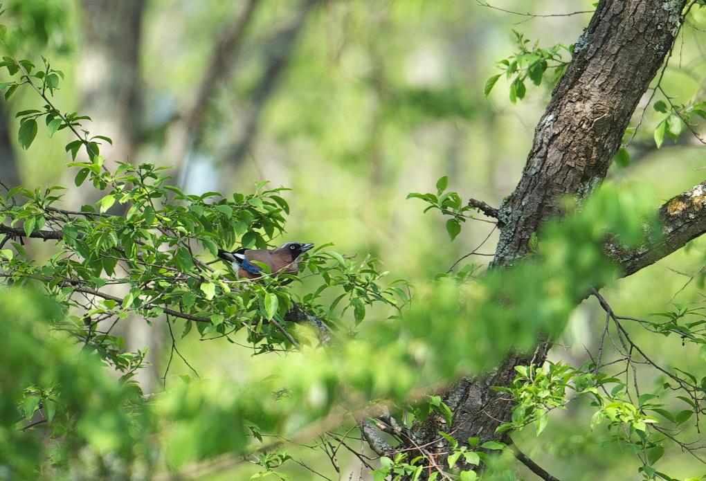 夏鳥遠征④_f0288418_5245861.jpg