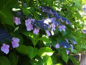 ブログ絵をhydeお嬢さんと紫陽花に変更_c0036138_2163633.jpg