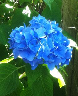 ブログ絵をhydeお嬢さんと紫陽花に変更_c0036138_2165030.jpg