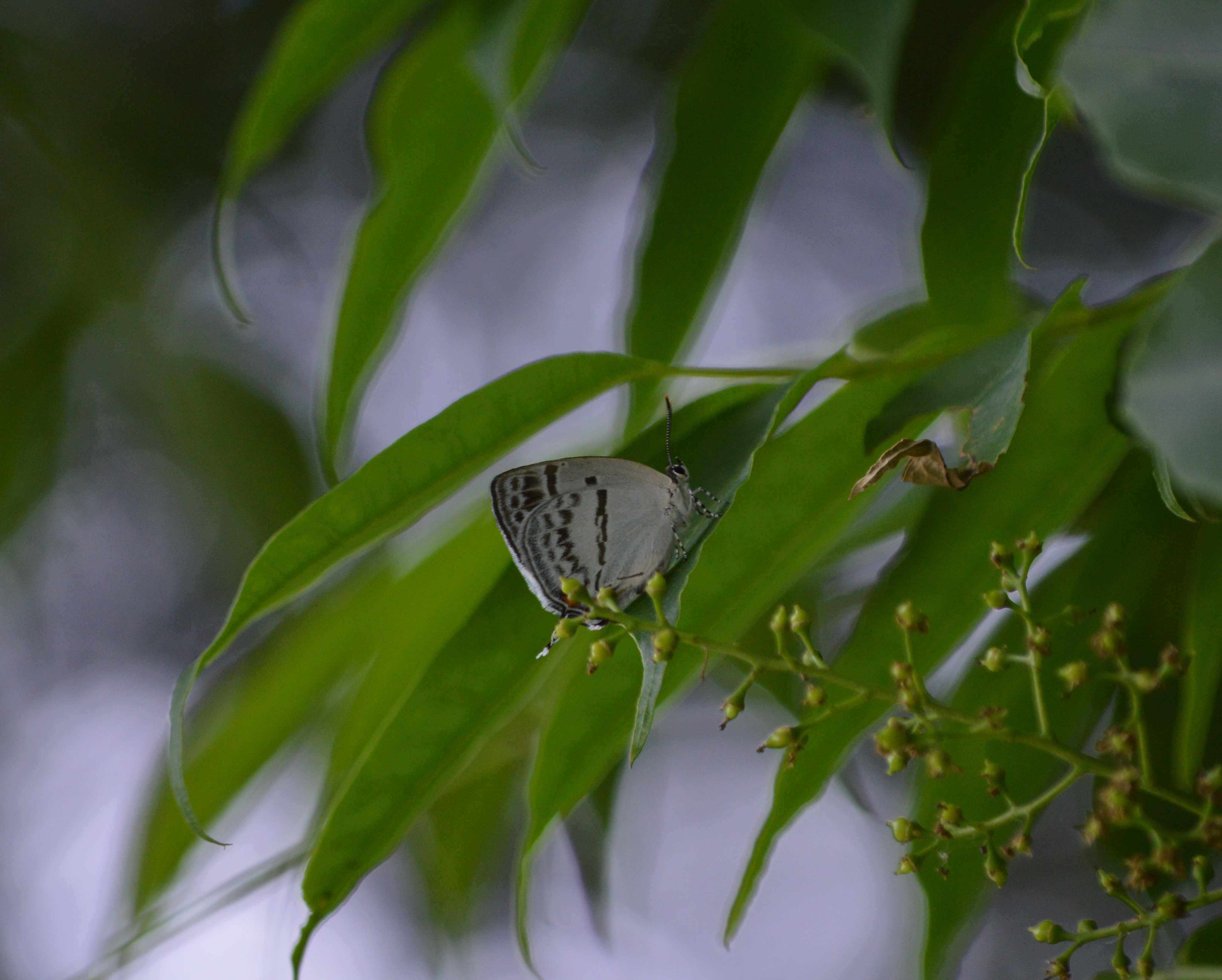 ヒメキマダラセセリ他 5/30~5/31の蝶達_d0254540_20141535.jpg