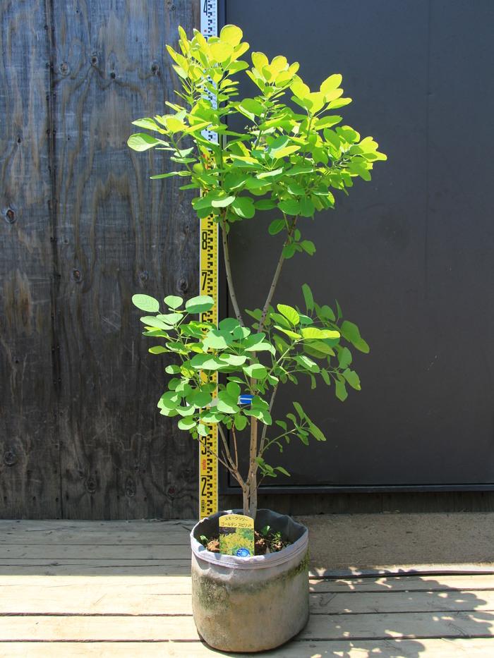 【楽天市場】スモークツリーの通販