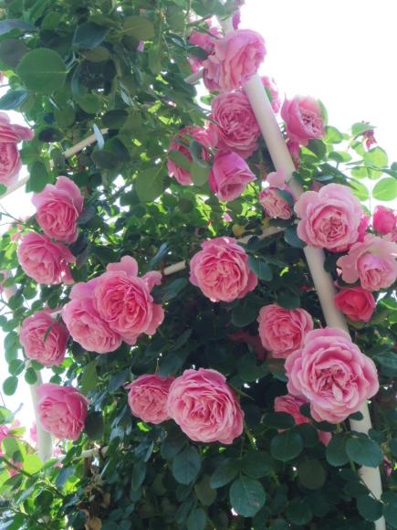 ギリギリ~ 五月の薔薇_f0158364_13360091.jpg