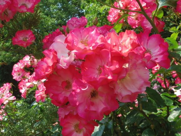 ギリギリ~ 五月の薔薇_f0158364_13362071.jpg