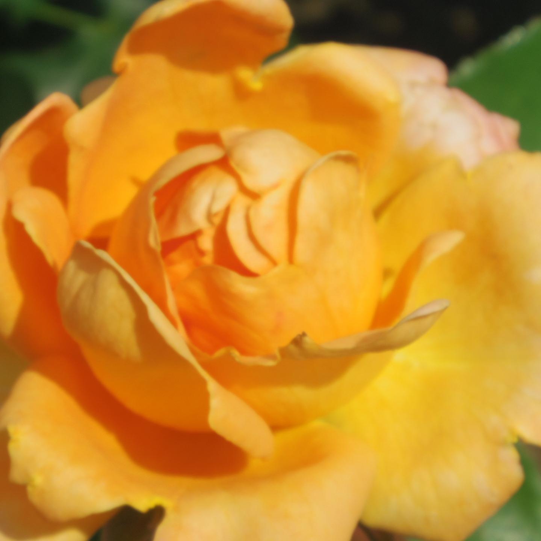 ギリギリ~ 五月の薔薇_f0158364_13373493.jpg