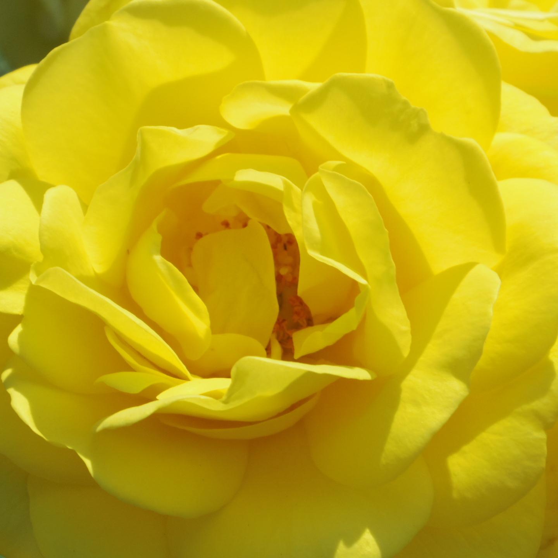 ギリギリ~ 五月の薔薇_f0158364_13381771.jpg