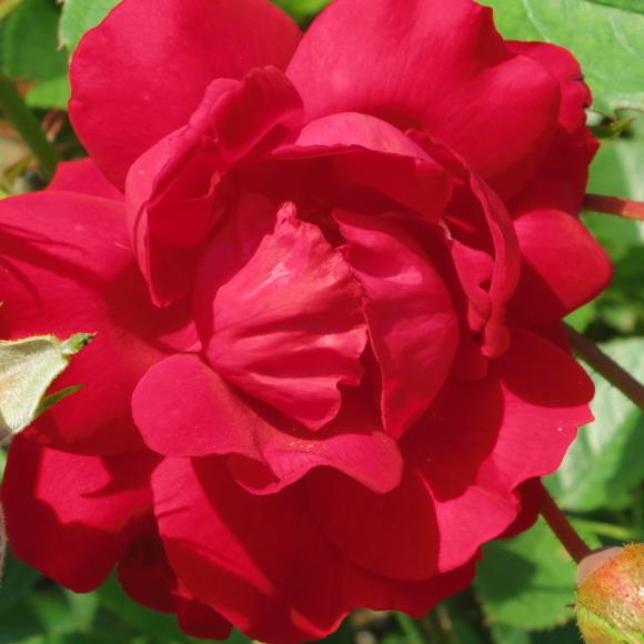 ギリギリ~ 五月の薔薇_f0158364_13383610.jpg