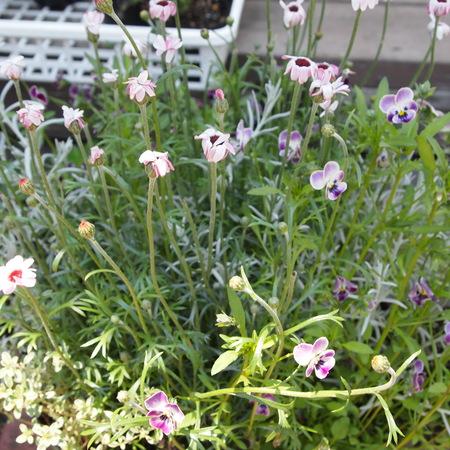 春の寄せ植えも解体_a0292194_1759213.jpg