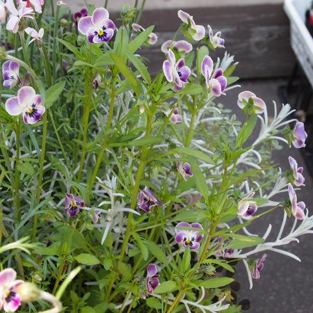 春の寄せ植えも解体_a0292194_1803168.jpg