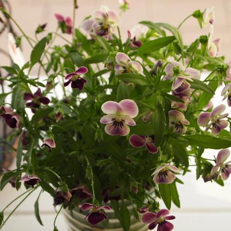 春の寄せ植えも解体_a0292194_1810353.jpg