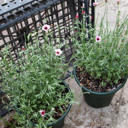 春の寄せ植えも解体_a0292194_1852938.jpg