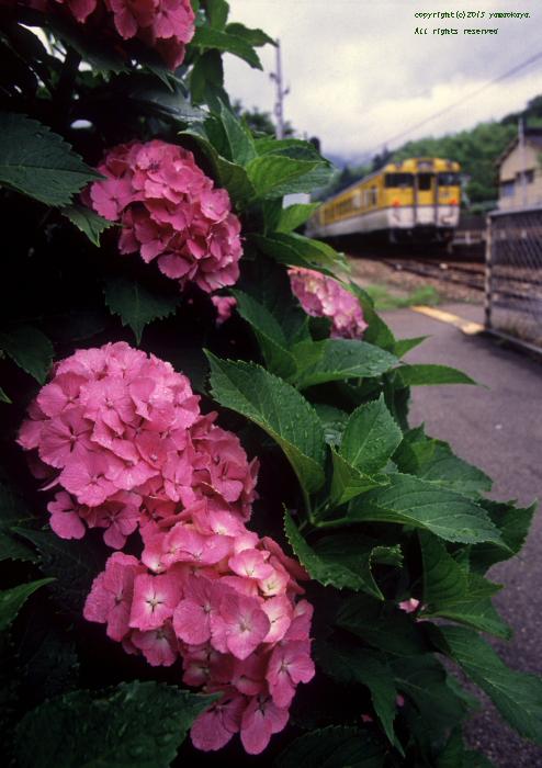 紫陽花の咲く狩留家_d0309612_5581076.jpg