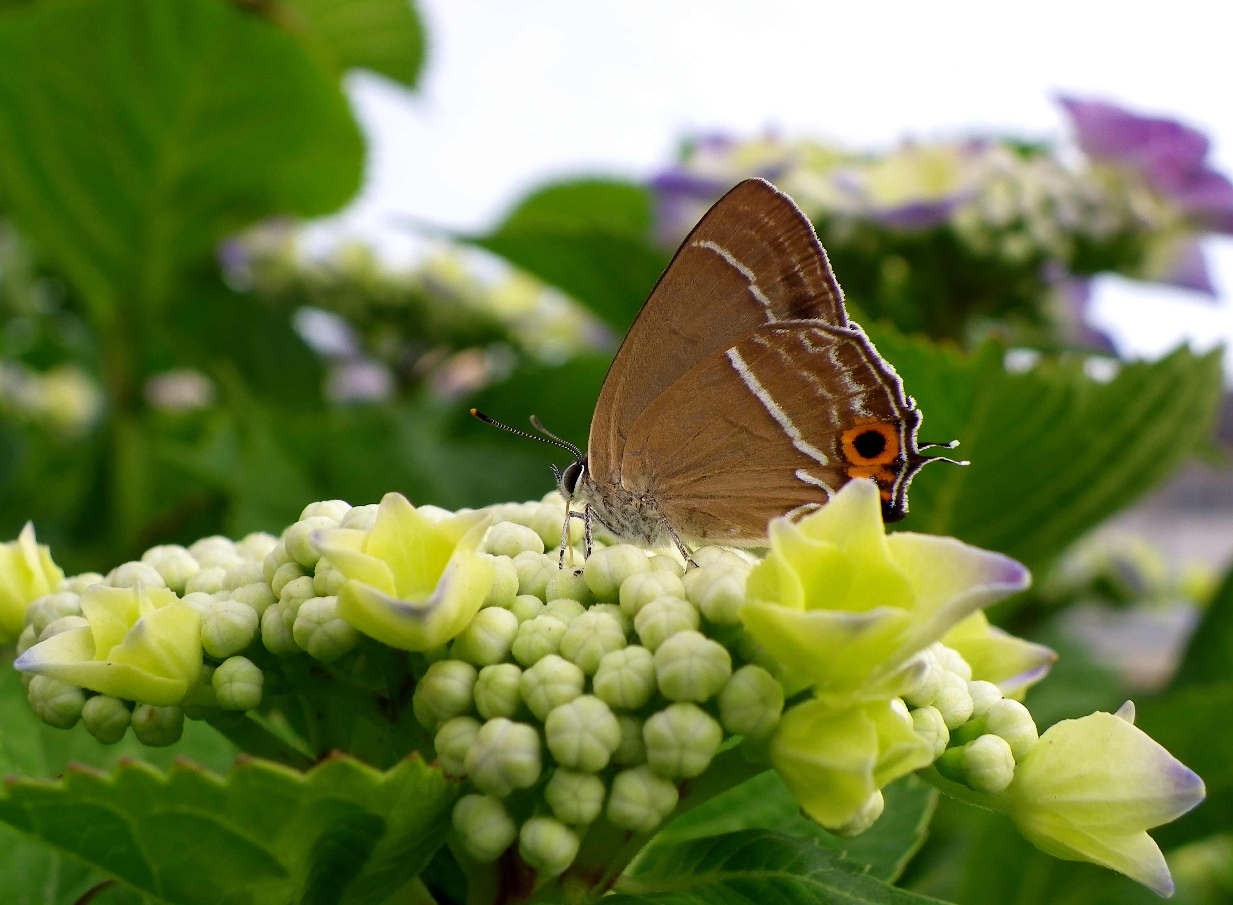 ミドリシジミ 6月2日朝の庭にて_d0254540_20105723.jpg