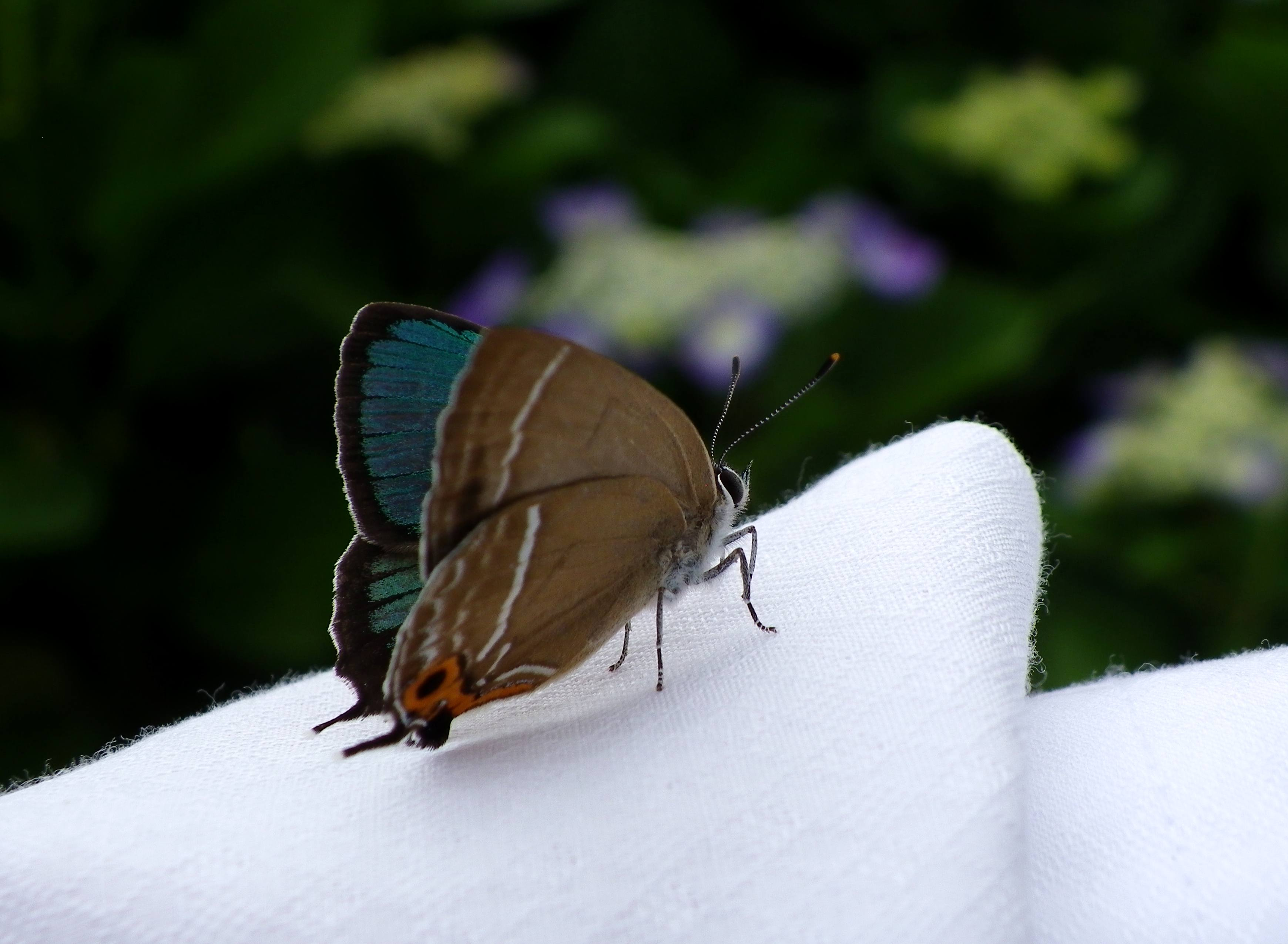 ミドリシジミ 6月2日朝の庭にて_d0254540_2012511.jpg