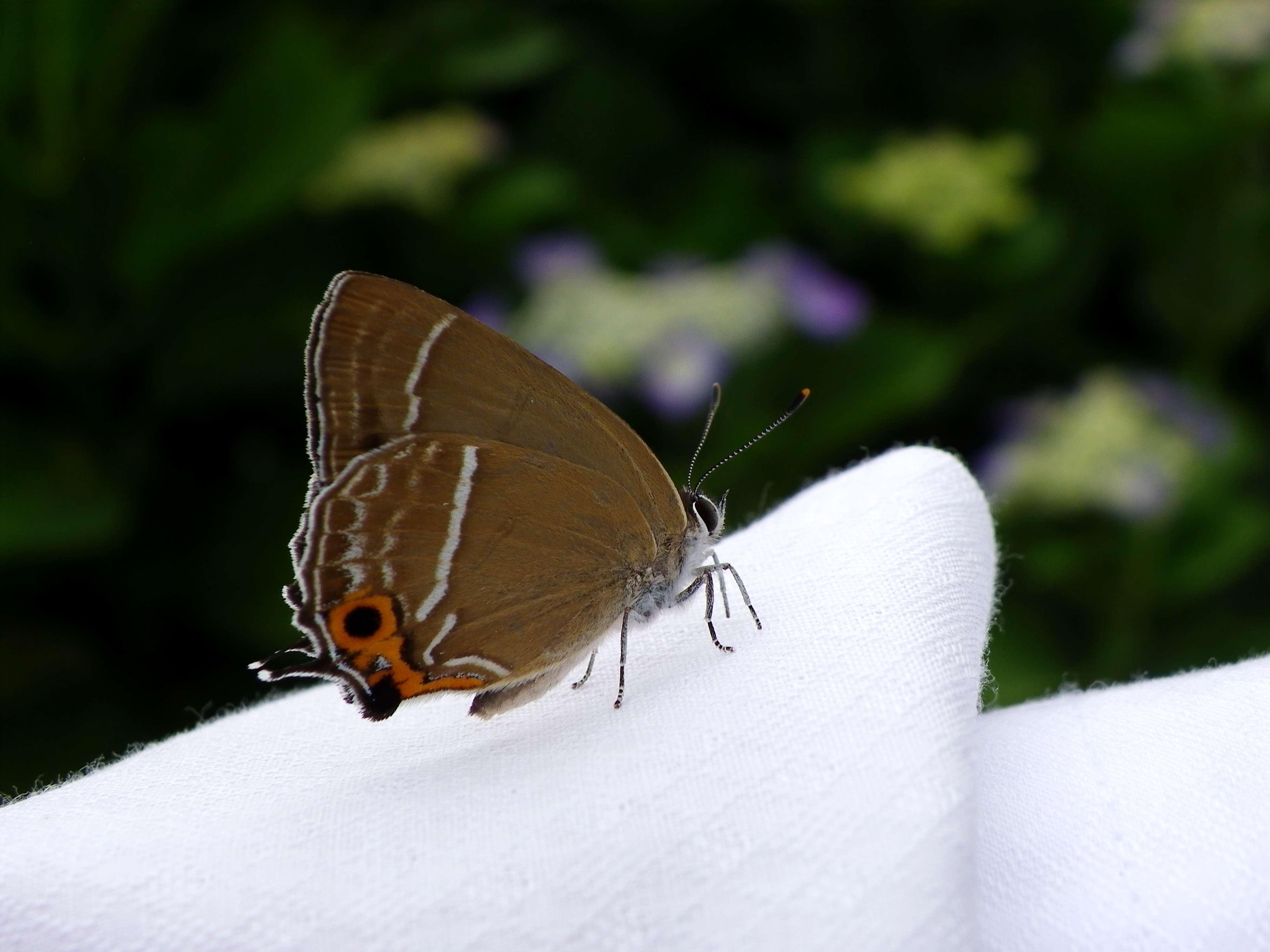 ミドリシジミ 6月2日朝の庭にて_d0254540_2012882.jpg