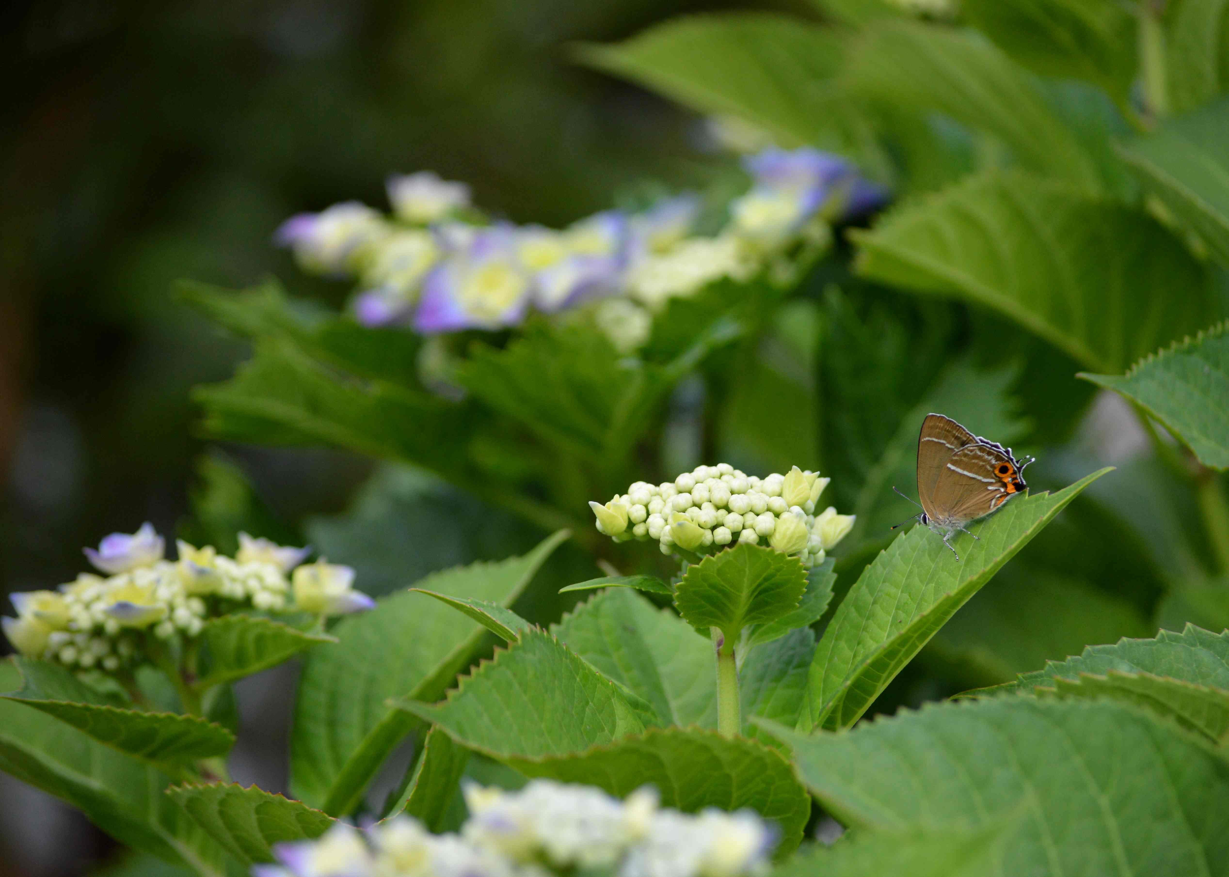 ミドリシジミ 6月2日朝の庭にて_d0254540_2065561.jpg