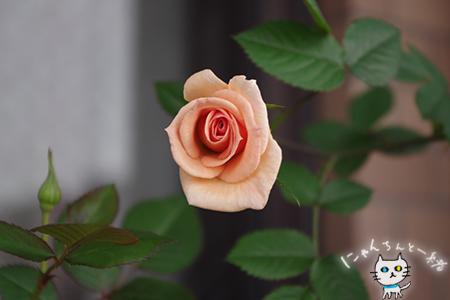 今年のミニ薔薇_e0031853_21143138.jpg