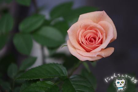 今年のミニ薔薇_e0031853_21144393.jpg