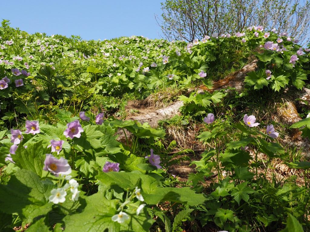 来馬岳で見たシラネアオイなど、6月1日_f0138096_16415849.jpg