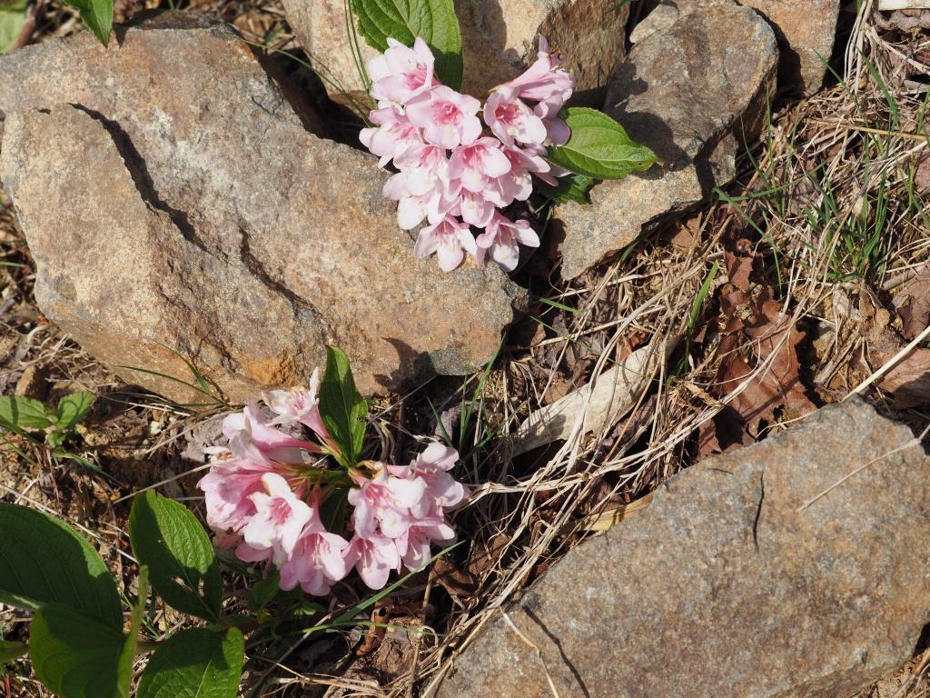来馬岳で見たシラネアオイなど、6月1日_f0138096_16423190.jpg