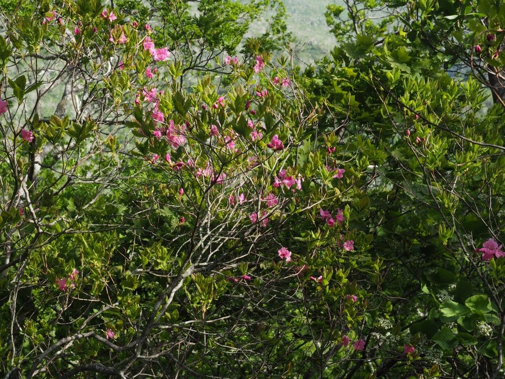 来馬岳で見たシラネアオイなど、6月1日_f0138096_16425875.jpg