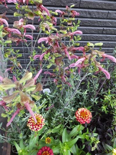 オークリーフ(水色の紫陽花)_f0049672_17164960.jpg