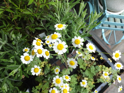 オークリーフ(水色の紫陽花)_f0049672_17165922.jpg