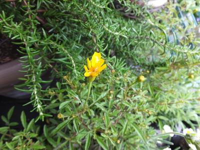 オークリーフ(水色の紫陽花)_f0049672_17171659.jpg