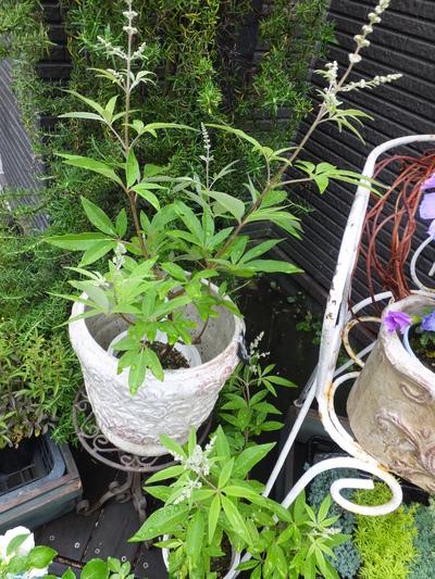 オークリーフ(水色の紫陽花)_f0049672_17174021.jpg