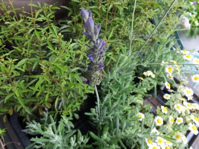 オークリーフ(水色の紫陽花)_f0049672_1717881.jpg