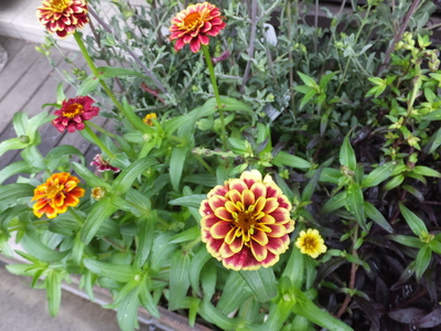 オークリーフ(水色の紫陽花)_f0049672_1719163.jpg