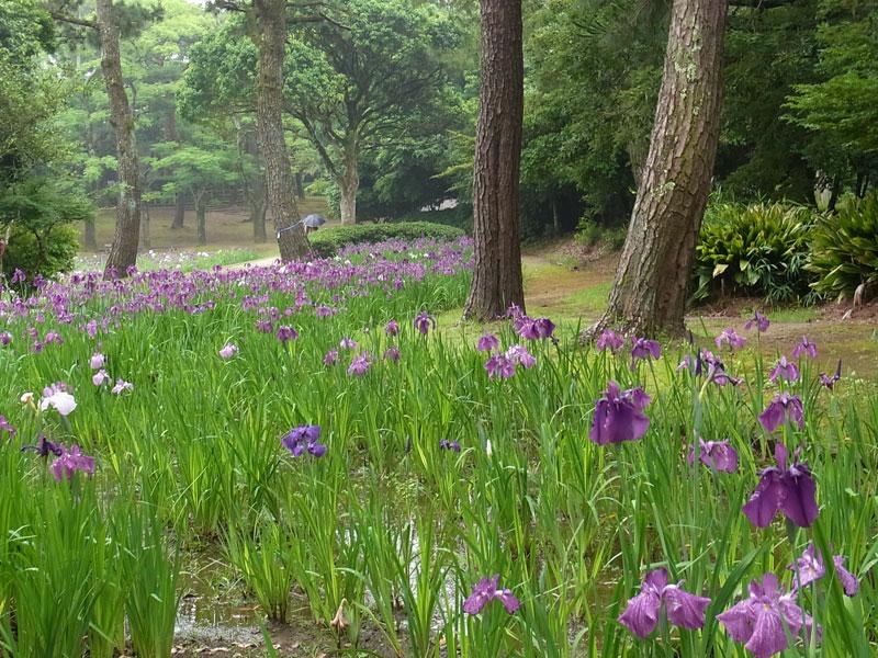 花菖蒲園.......市民の森_d0127182_167552.jpg