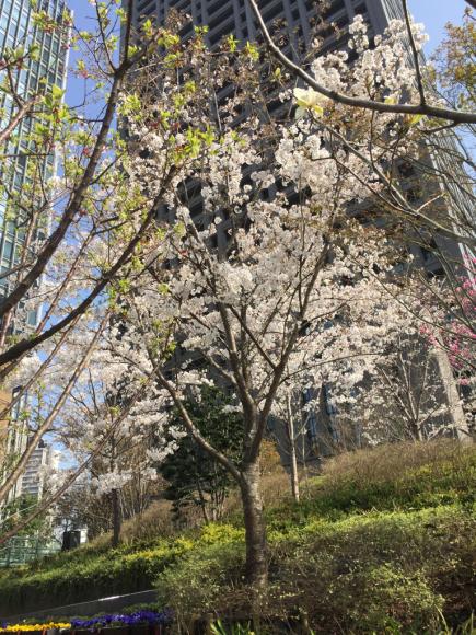 桜_f0134268_23492601.jpg