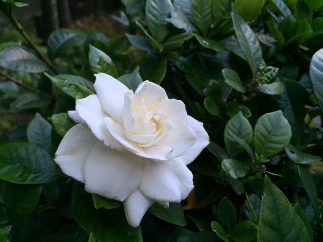 紅白な花_a0326106_8511972.jpg