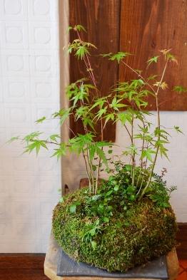 苔玉盆栽展はじまりますー_d0263815_15103698.jpg