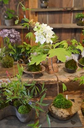 苔玉盆栽展はじまりますー_d0263815_1543542.jpg