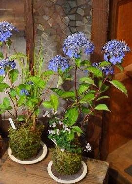 苔玉盆栽展はじまりますー_d0263815_154767.jpg