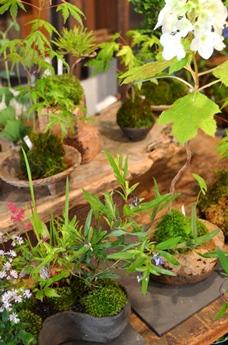 苔玉盆栽展はじまりますー_d0263815_1553799.jpg
