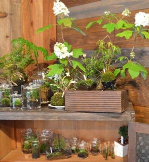 苔玉盆栽展はじまりますー_d0263815_1565495.jpg